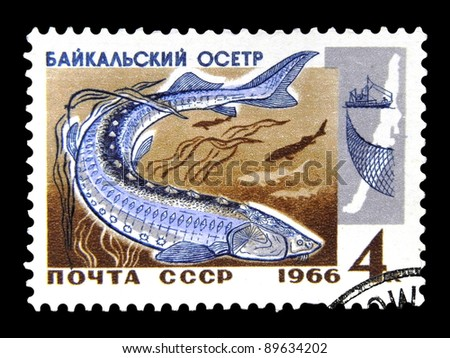 """USSR - CIRCA 1966: A stamp printed in USSR (Russia) shows Sturgeon with the inscription """"Baikal Sturgeon (Acipenser baeri baicalensis)"""" from the series """"Commercial fish of Lake Baikal"""", circa 1966 - stock photo"""