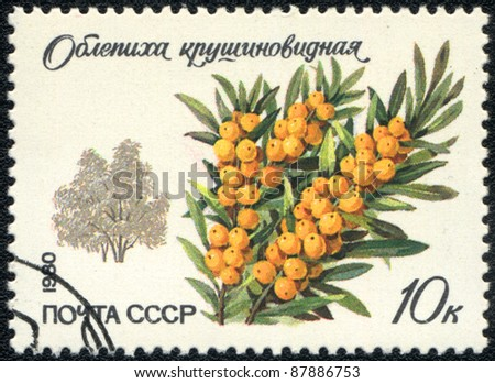 USSR - CIRCA 1980: A stamp printed in USSR  shows  a Hippophae rhamnoides, series, circa 1980 - stock photo