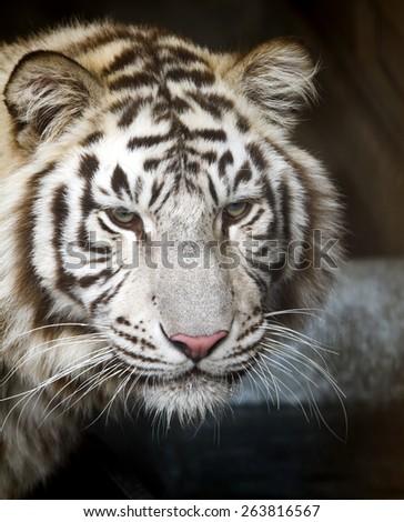 Ussuri white tiger close-up of the muzzle. - stock photo