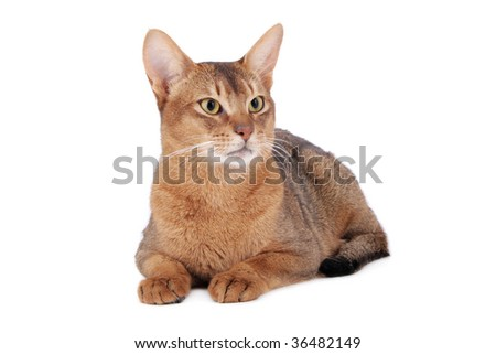 Usual Abyssinian cat on white - stock photo