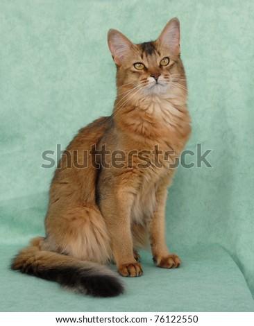 Usual female Somali cat - stock photo