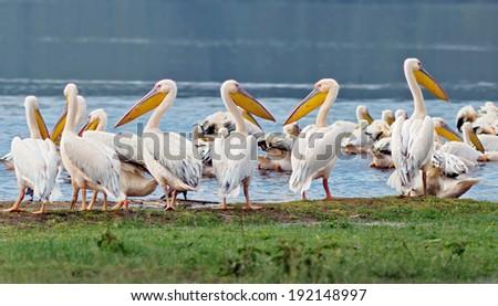 Vacationers white pelicans in Lake Nakuru National Park - Kenya, Africa - stock photo