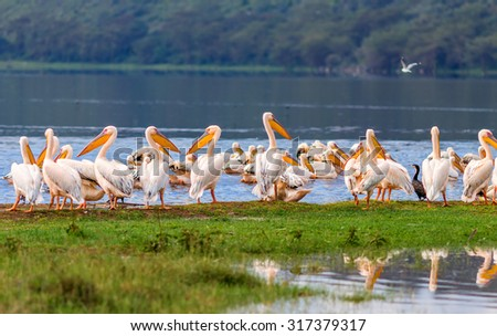 Vacationers white pelicans in the Lake Nakuru National Park - Kenya, Africa - stock photo
