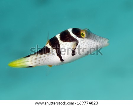 Valentin's sharpnose puffer in Bohol sea, Phlippines Islands - stock photo
