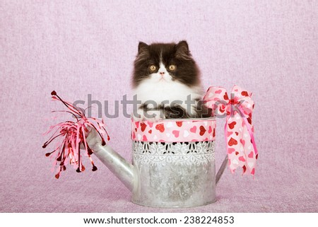Valentine black and white Persian kitten sitting inside Valentine decorated watering can on pink lilac background  - stock photo