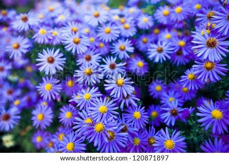 valentine blue flowers - stock photo
