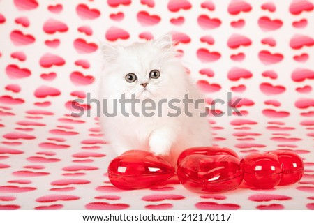 Valentine Chinchilla kitten sitting on heart print background with red plastic ornamental hearts in foreground  - stock photo