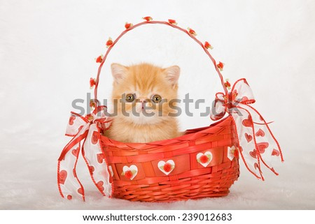 Valentine Exotic kitten sitting inside red Valentine basket on white fake faux fur background  - stock photo
