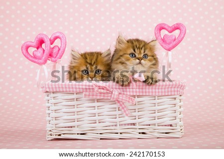 Valentine Golden Chinchilla Persian kittens sitting inside white gift basket with Valentine ornamental hearts on light pink background  - stock photo