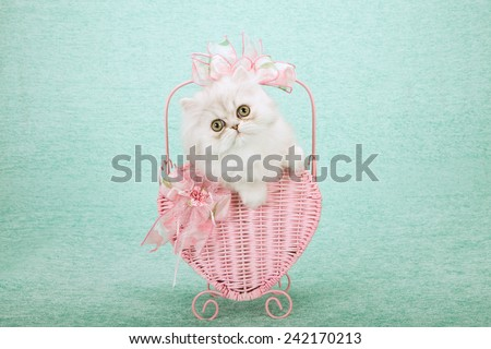 Valentine silver Chinchilla kitten sitting inside pink heart shape basket on mint green background  - stock photo