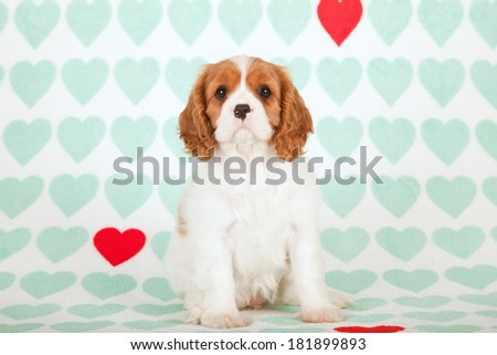 Valentine theme Cavalier King Charles Spaniel puppy sitting on mint green and red heart print background - stock photo
