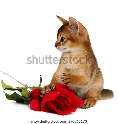 Valentine theme kitten with red rose isolated on white background - stock photo
