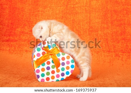 Valentine theme Scottish Fold kitten leaning over polka dot heart shaped gift box on orange background - stock photo