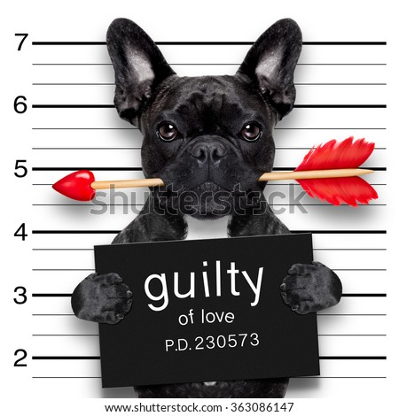 valentines bulldog  dog with rose in mouth as a mugshot guilty for love - stock photo