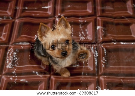 valentines day dog,a yorkshire terrier on a giant shiny chocolate bar colored background - stock photo