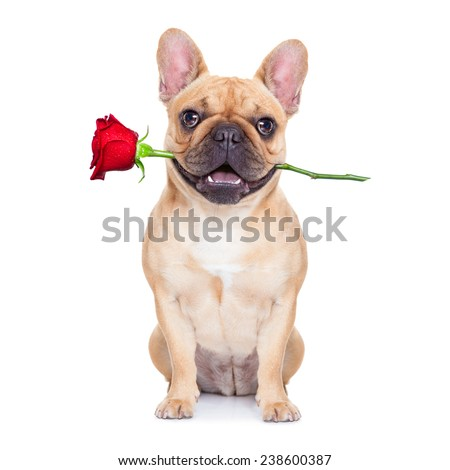 valentines dog in love with you ,  with a red rose in mouth , isolated on white background, - stock photo