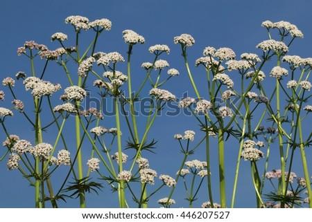 Valeriana officinalis blooming - stock photo