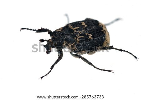 Valgus hemipterus scarab beetle isolated on white. - stock photo