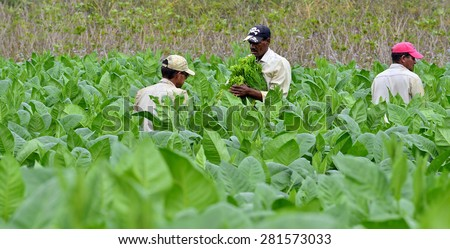 Valle de Vinales, CUBA - FEBRUARY 17: Unidentified Men working on Cuba tobacco plantation.Traditional techniques are still in use for agricultural production, particularly of tobacco.FEBRUARY 17,2015. - stock photo
