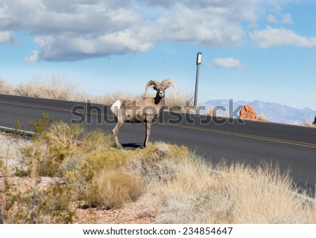 Valley of Fire State Park  (Nevada State Parks). Watch Out! Sheep on the road! - stock photo