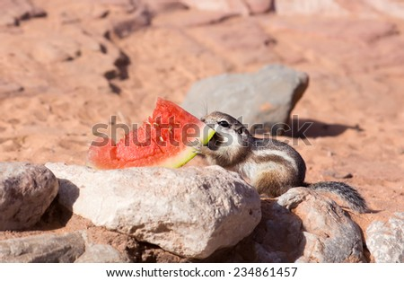 Valley of Fire State Park  (Nevada State Parks). White-tailed  Antelope Squirrels  (Ammospermophilus leucurus)  drags watermelon rinds - stock photo