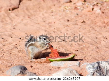 Valley of Fire State Park  (Nevada State Parks). White-tailed  Antelope Squirrels  (Ammospermophilus leucurus) eating watermelon rinds - stock photo
