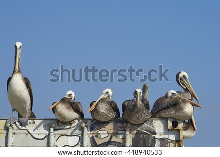 VALPARAISO, CHILE - JULY 5, 2016: Group of Peruvian Pelicans (Pelecanus thagus) resting on an old shipping container at the fish market in the UNESCO World Heritage port city of Valparaiso in Chile. - stock photo