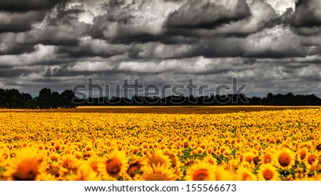 van Gogh Summer. Dramatic evening over sunflowers meadow, natural landscape - stock photo