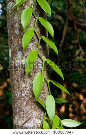 Vanilla at a tree - stock photo