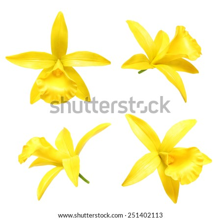 Vanilla orchid flower isolated on white background - stock photo