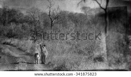 Vanishing Africa:African lioness with her baby in the Hlane National Park, Swaziland - stock photo
