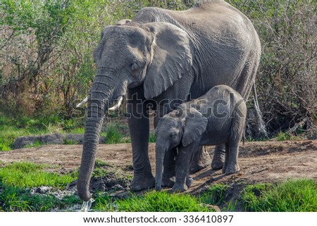 Vanishing Africa: Elephant with her baby in the Hlane Royal National Park, Swaziland - stock photo