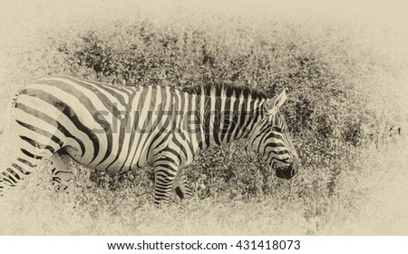 Vanishing Africa: vintage style image of a Zebra in the Ngorongoro Crater, Tanzania - stock photo