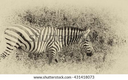 Vanishing Africa: vintage style image of a Zebra in the Ngorongoro Crater, Tanzania - stock photo