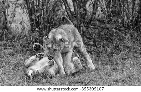 Vanishing Africa: vintage style image of two African Lion cubs in the Maasai Mara National Park, Kenya - stock photo