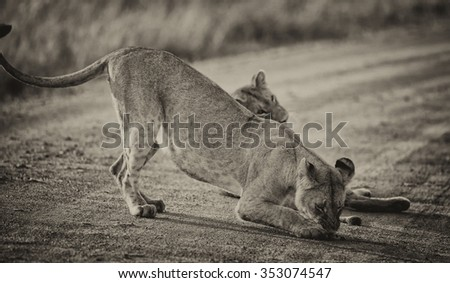 Vanishing Africa: vintage style image of two African Lionesses in the Maasai Mara National Park, Kenya - stock photo