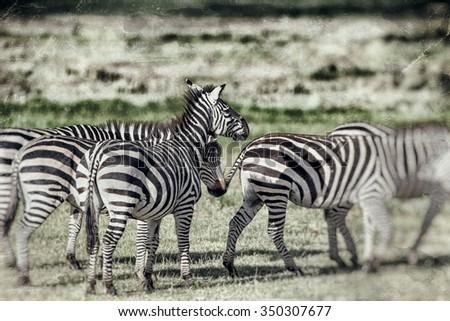 Vanishing Africa: vintage style image of Zebras in the Ngorongoro Crater, Tanzania - stock photo