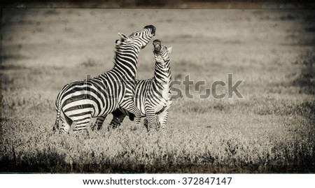 Vanishing Africa: vintage style image of Zebras in the Ngorongoro Crater, Tanzania - stock photo