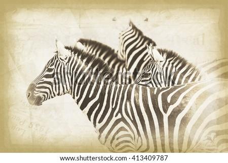 Vanishing Africa: vintage style image of Zebras in the Serengeti National Park, Tanzania - stock photo