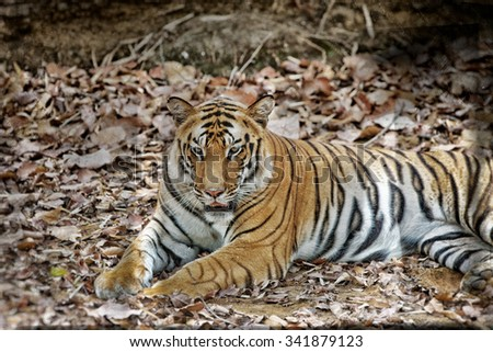 Vanishing Indian wildlife: Vintage style image of a Large male Bengal tiger in Bandhavgarh National Park, India - stock photo