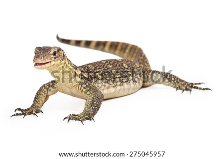 Varanus salvator, commonly known as Asian Water Monitor sitting on a white background with an attentive expression and open mouth. - stock photo