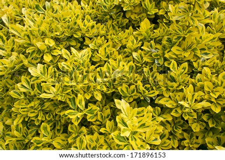 Variegated box shrub Euonymus fortunei Emerald Surprise with golden and green leaves. - stock photo