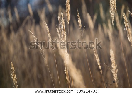 Variegated structures of flowering blades of grass at sunset. - stock photo