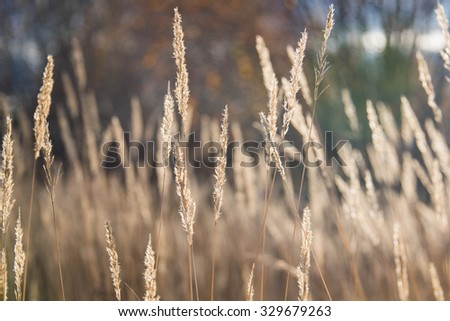 Variegated structures of flowering blades of grass. Reeds at dark evening sunset in field with one house. - stock photo