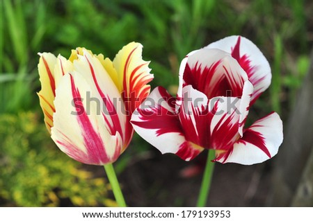 Variegated tulips in the spring garden. - stock photo