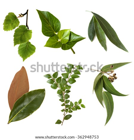 Variety of leaves, isolated on white.  Includes silver birch, ivy, olive, magnolia, myrtle beech, and eucalyptus. - stock photo