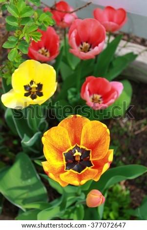 Variety of tulips - stock photo