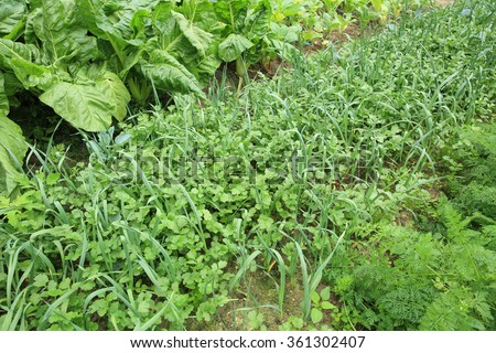 variety vegetable crops in growth at  garden - stock photo