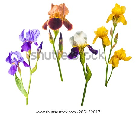 Various colorful irises isolated on a white background - stock photo