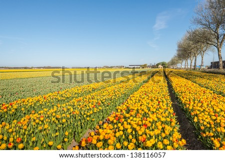 Various colors in this field of flowering tulip bulbs of a Dutch bulbs nursery. - stock photo